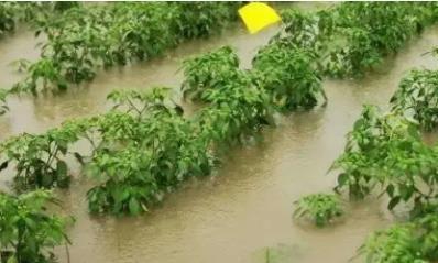 大雨过后,辣椒最容易出现落花落果的现象,及时采取措施是关键