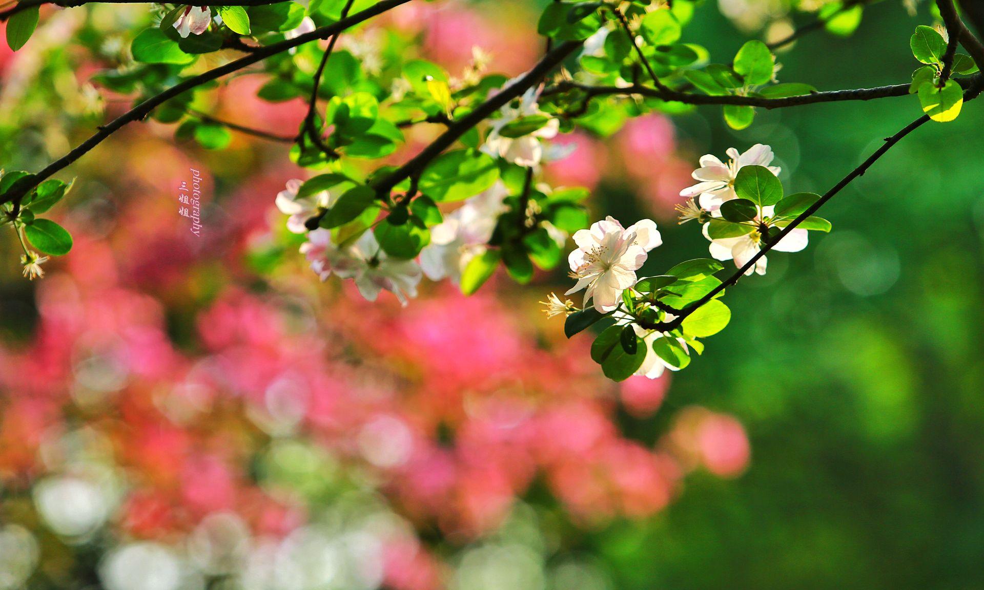 海棠依旧醉郑州 河南最大的海棠种植园 万株海棠花开似锦