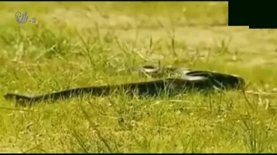 冷血动物的较量,鳄鱼捕食蟒蛇,叼起蟒蛇就是一顿狂甩