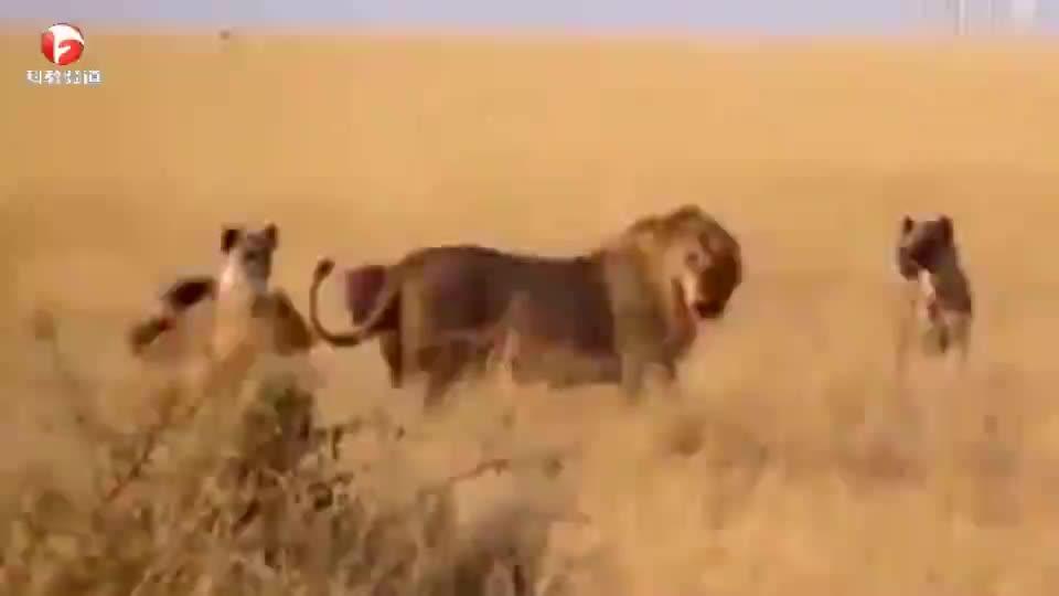 鬣狗群围攻雄狮,结果遭到了雄狮的疯狂反击,这下鬣狗可惨了!