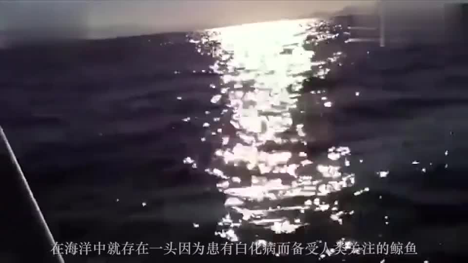 鲸鱼:纯白色的座头鲸被发现,真是大海中游动的活宝石啊!