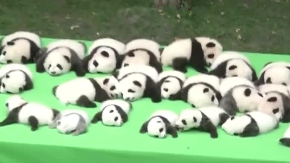 饲养员把大熊猫当白菜晒,其中一只团子亮了,这是没墨了吧?