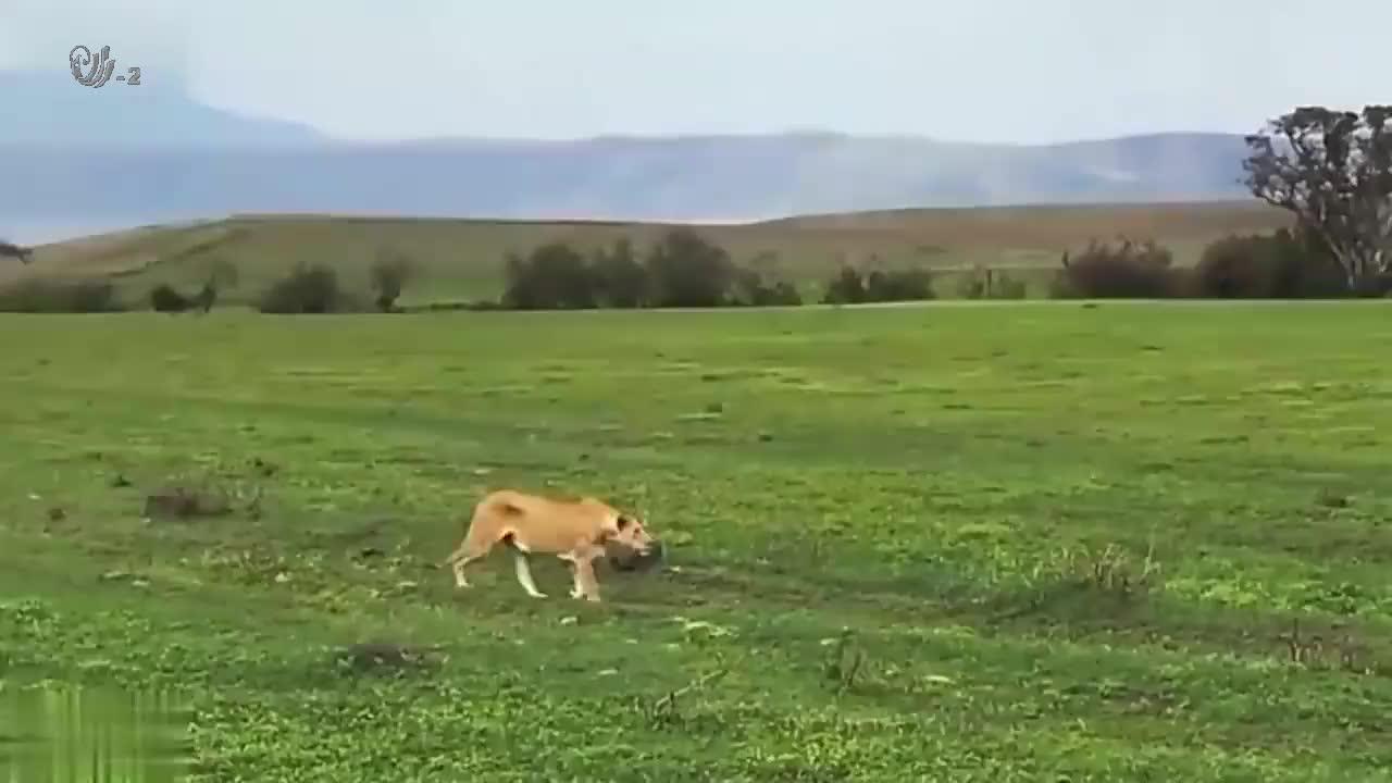 几头狮子追着一群野牛跑,野牛群瞬间狂奔,连逃跑都忘了