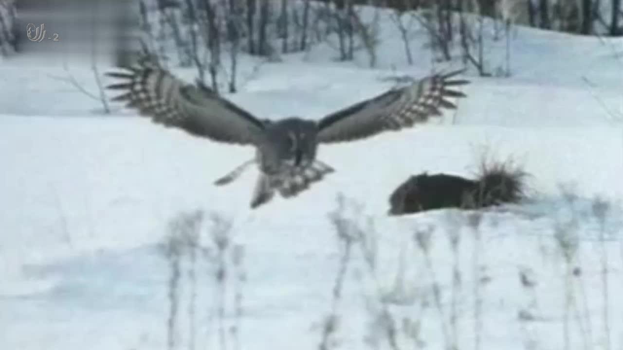 角鸮的世界是黑白的,这样可以帮助它们更好的观察猎物的一举一动