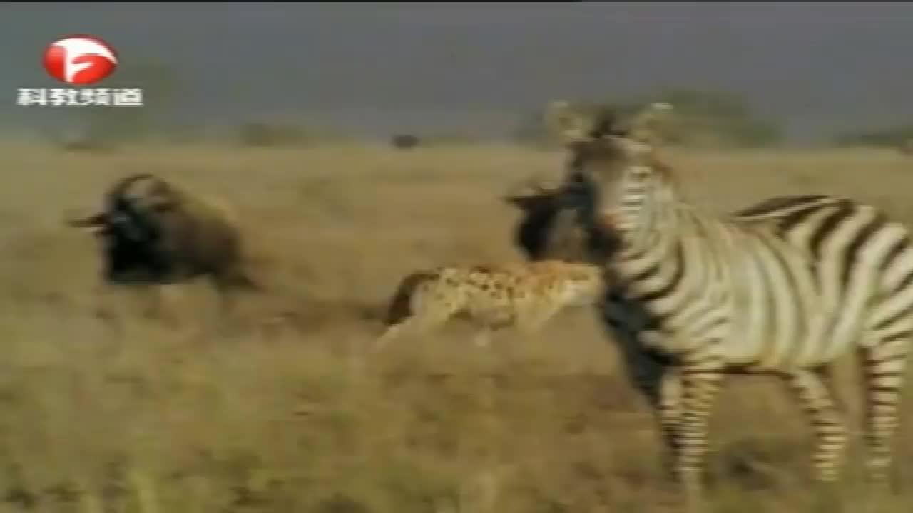 鬣狗在斑马群中尽情玩耍,都忘了捕猎,真搞笑!