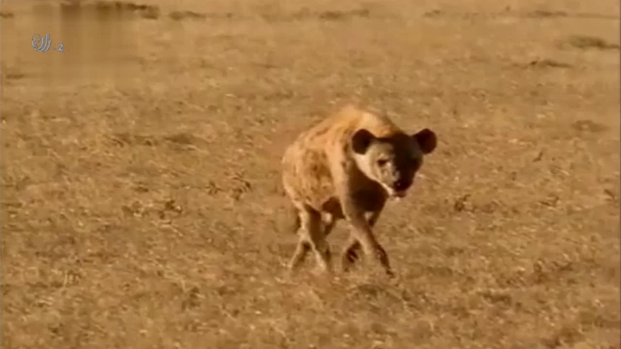 鬣狗家族的社会是哺乳动物中最复杂的,而洞穴就是家族的中心