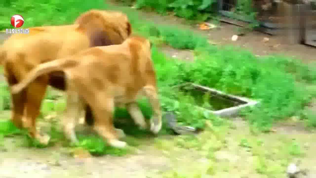 来动物园游玩,却被老虎夫妇给秀了一波恩爱,狗粮吃到满
