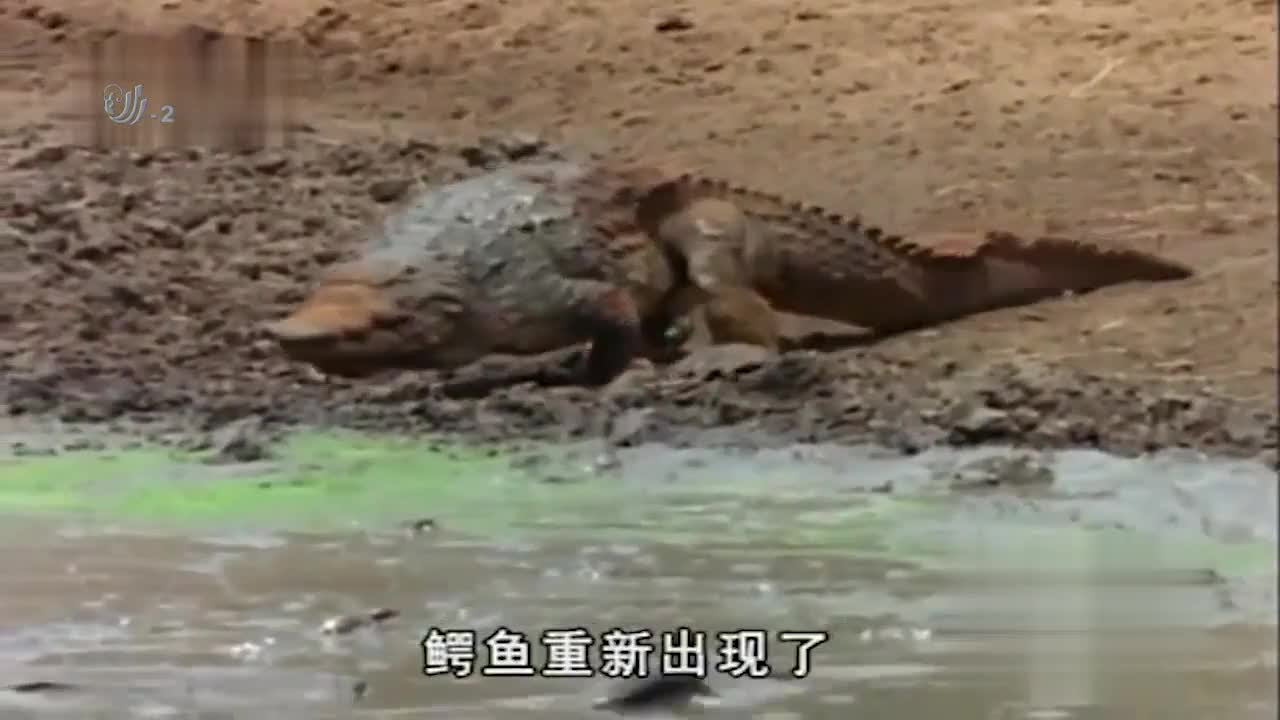 鳄鱼将小鳄鱼从嘴巴里放出,刚上岸的小鳄鱼,却被蜥蜴盯上了