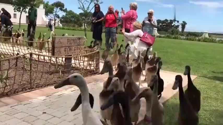 南非酒庄组织2000只鸭子每天进葡萄园解决虫害问题