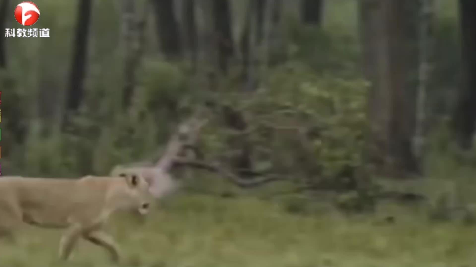 母狮子被扑倒,供水牛不顾危险,找狮子拼命!