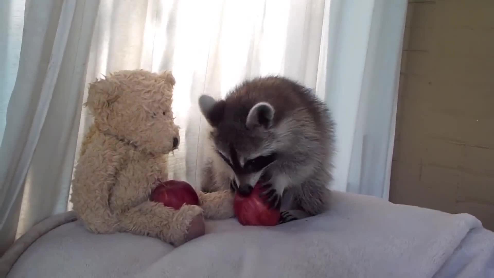 野生浣熊潜入民居偷吃,居然是为了撸猫!喵星人的反应太亮了