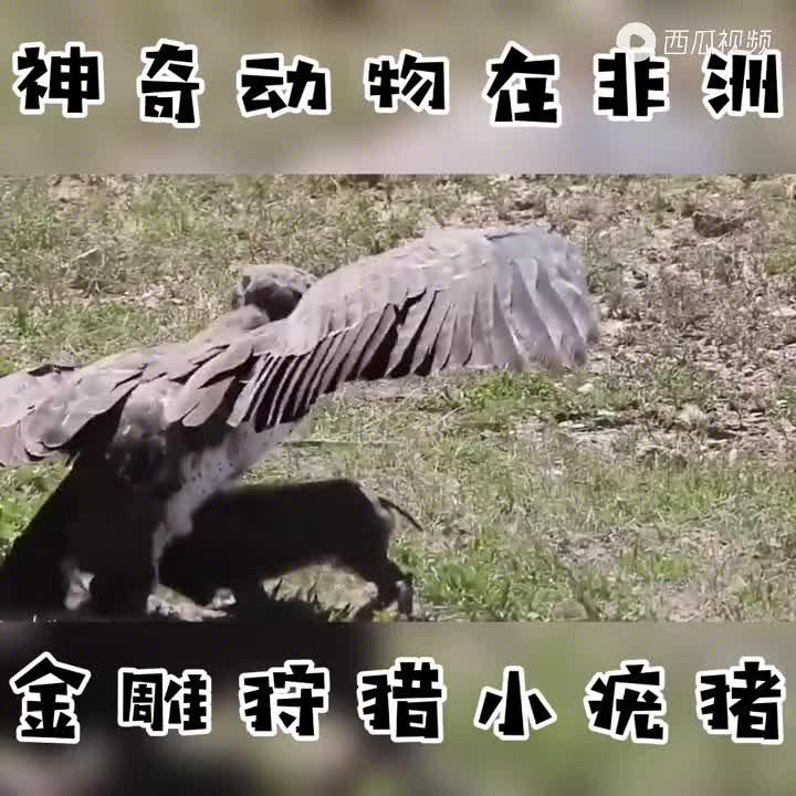 50斤小疣猪被金雕抓获,坚决反抗宁死不屈,疣猪妈妈内心崩溃不已