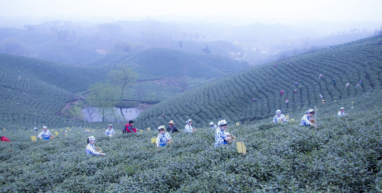 春日茶乡,新茶即将上市