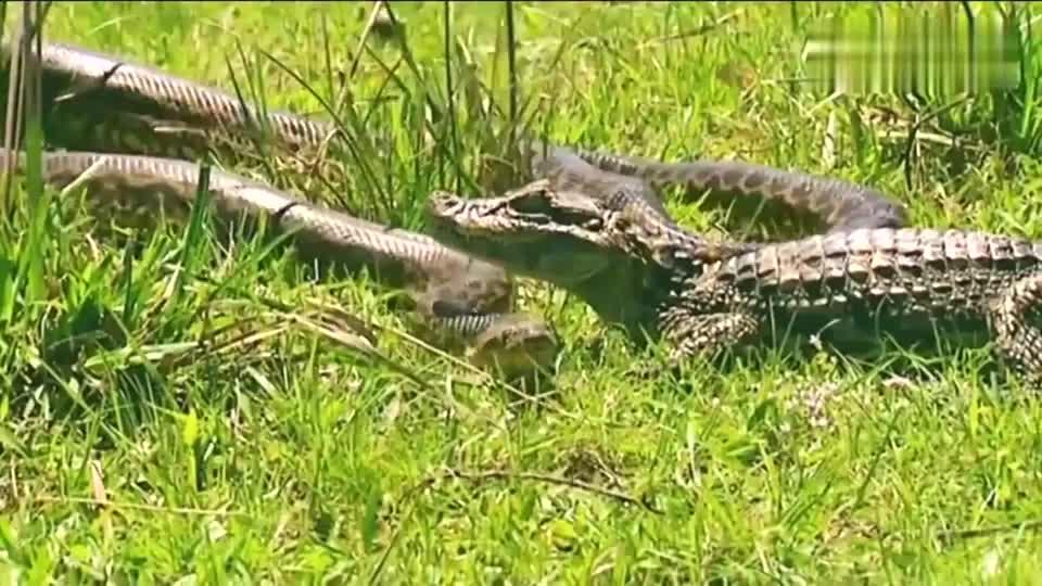 几米长的蟒蛇大战长虫,这就像是鸡蛋碰石头啊!