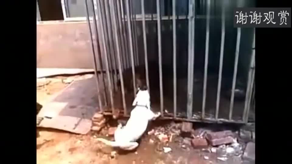 牛头梗挑衅藏獒,藏獒:把我放出去,气死老子了!