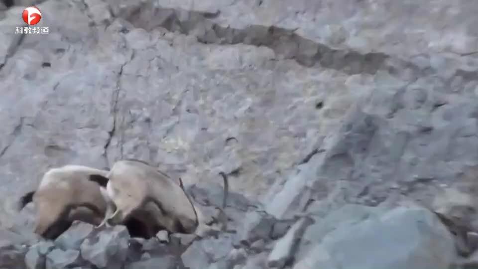 悬崖上,两只山羊正在激烈的搏斗,网友:真害怕一不小心摔下山崖