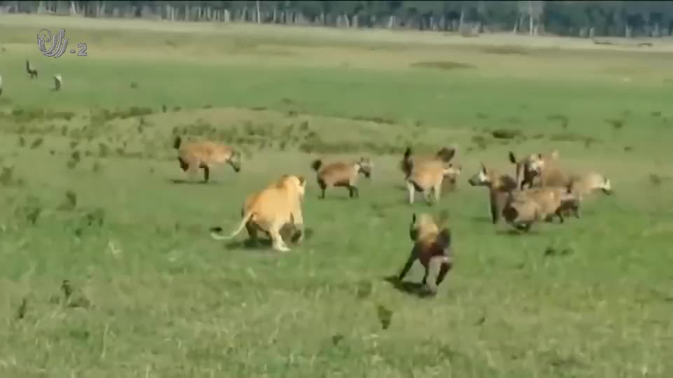 鬣狗群追逐落单狮子,狮子正准备放弃抵抗时,一只雄狮前来搭救