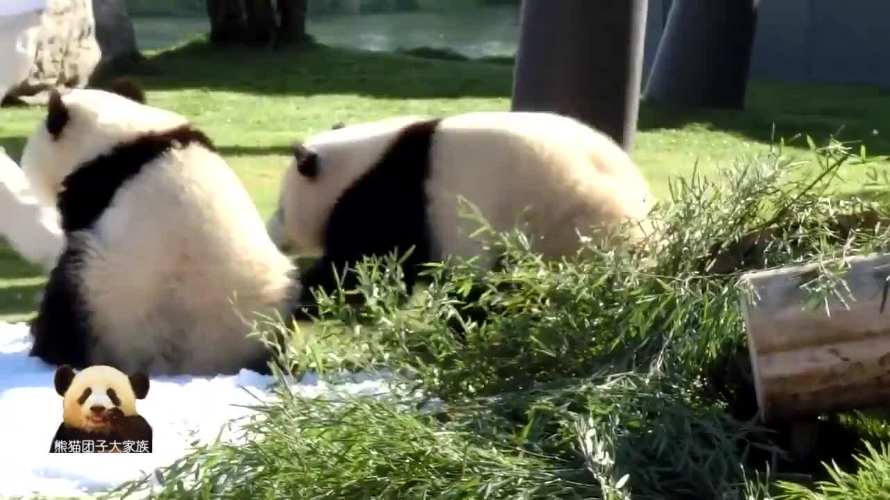 呆萌无敌的熊猫双胞胎兄妹表现超乖,得到了奶妈的零食奖励