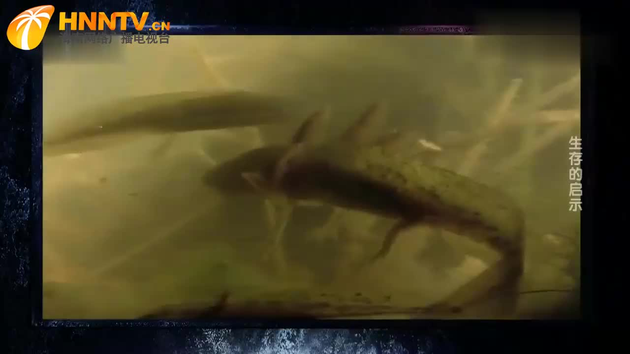 同类相残的虎螈,弱小的注定被吞食