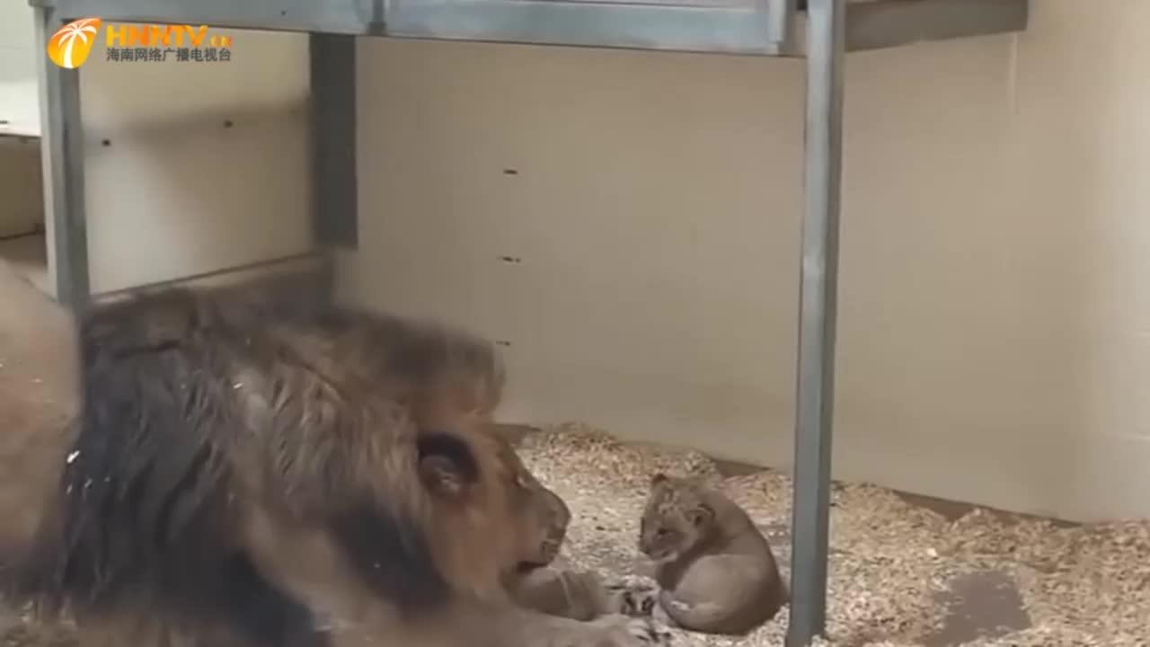 雄狮第一次见自己孩子,雄狮:肉嘟嘟的太可爱了,镜头记录全程!