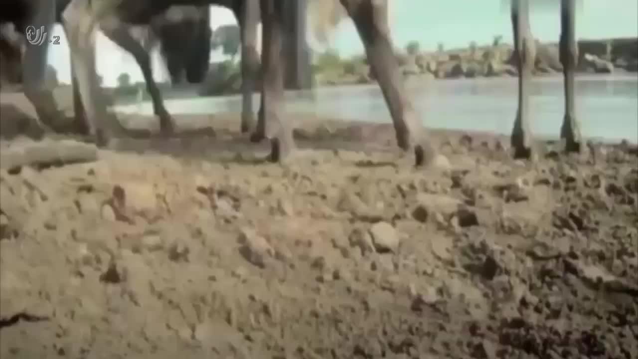 动物世界名场面,鳄鱼捕食羚羊结果被赶来的河马救下,还惨遭毒打