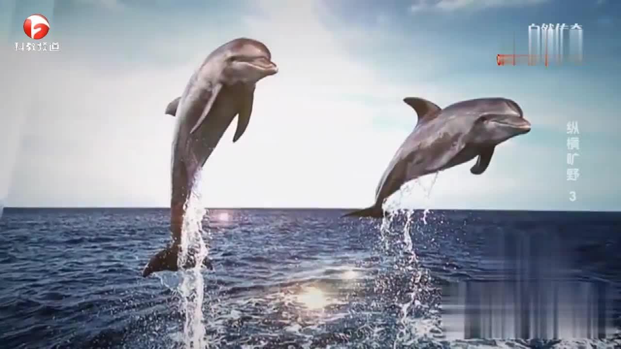 身为哺乳动物,海豚真是不简单,竟拥有两套语言?