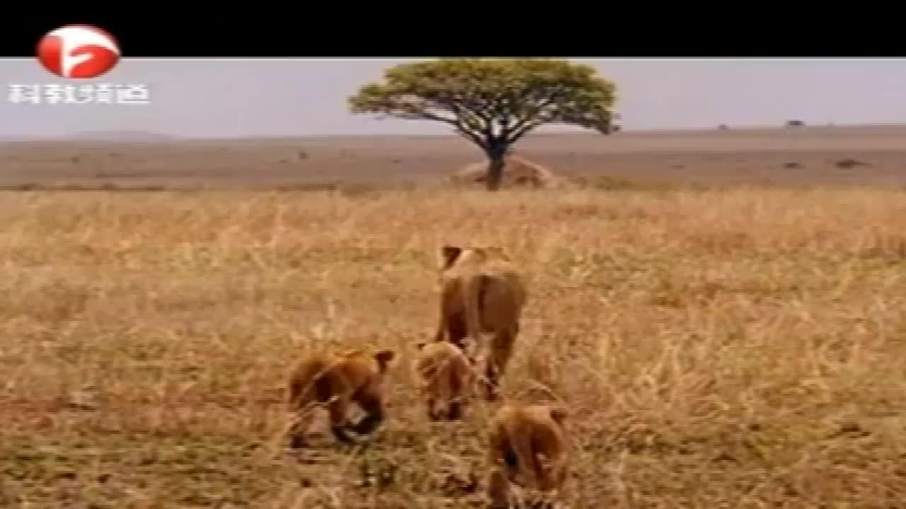 豹子饿了两天,实在没力气捕猎了,生命岌岌可危!