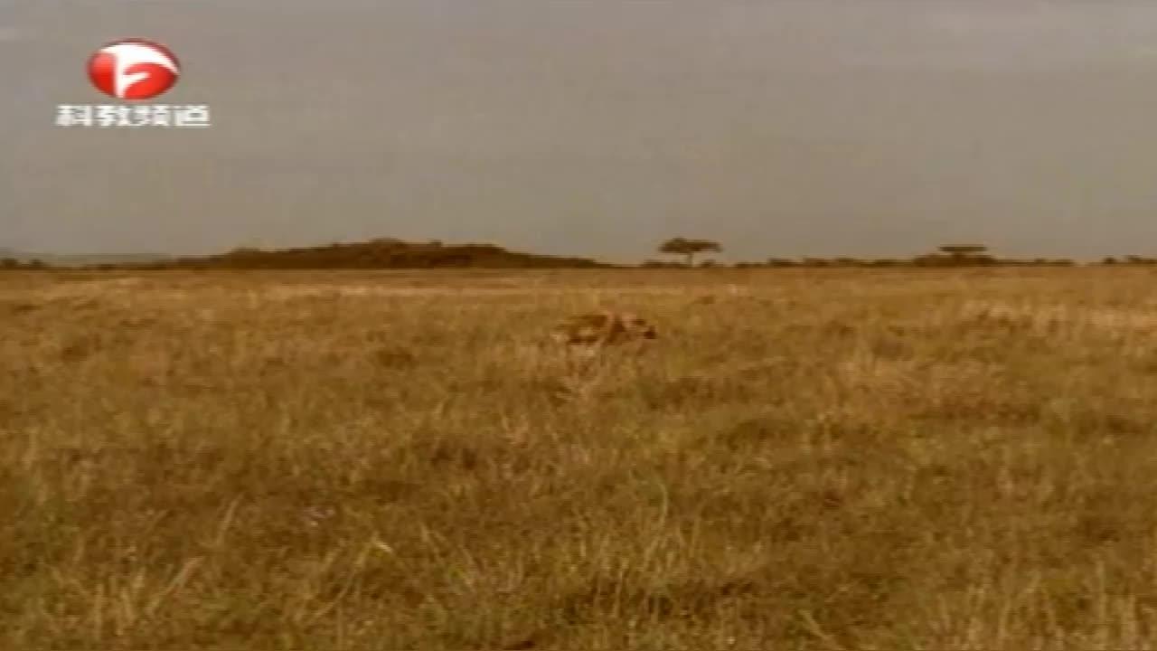 鬣狗捕猎回来了,宝宝们却不愿迎接它,这是为啥?