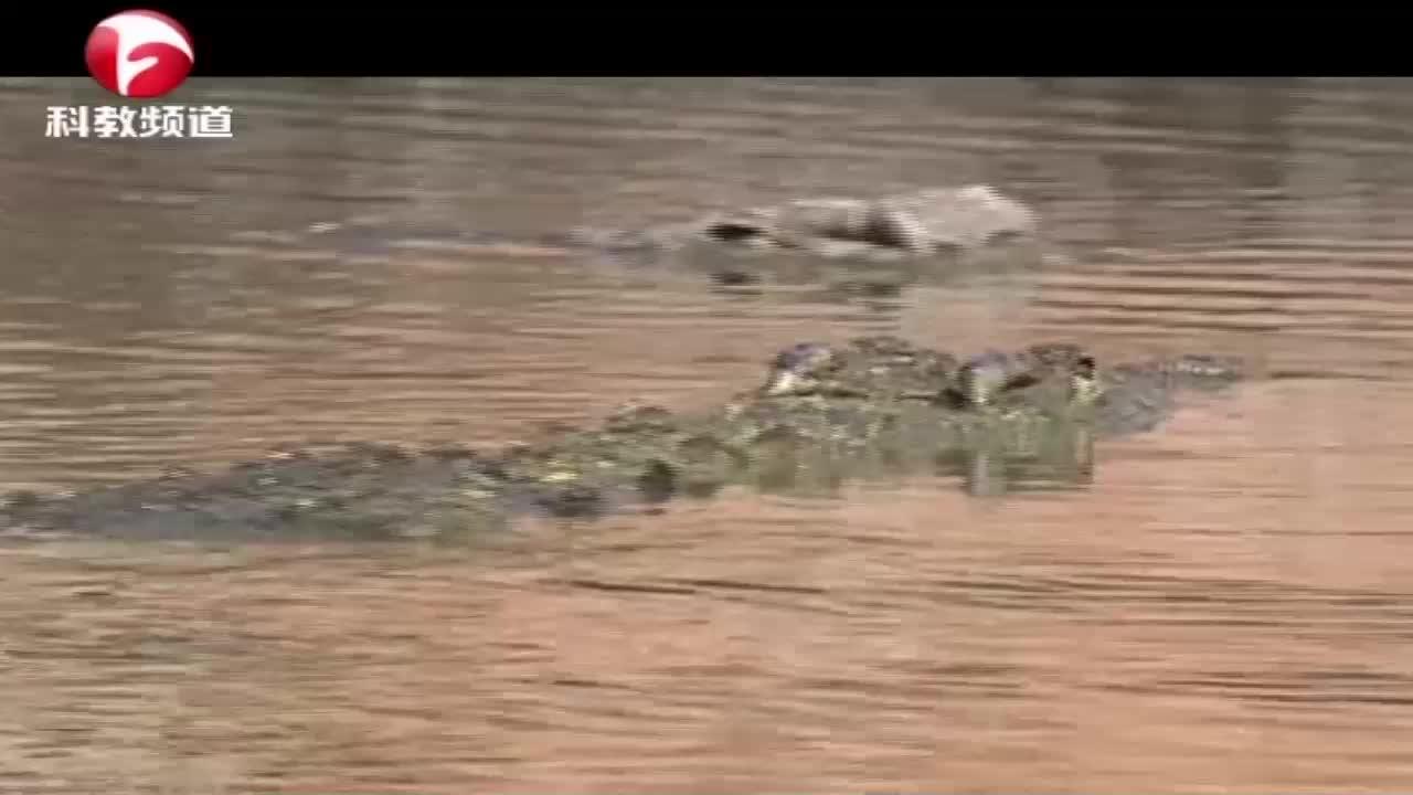 鳄鱼捕食角马,被拖下水的角马最终凭借求生的意志,战胜了鳄鱼