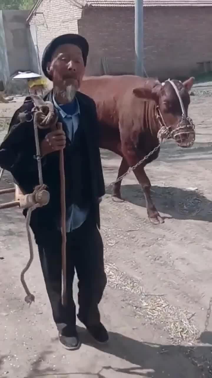 牵着老牛下地,老爷子干农活