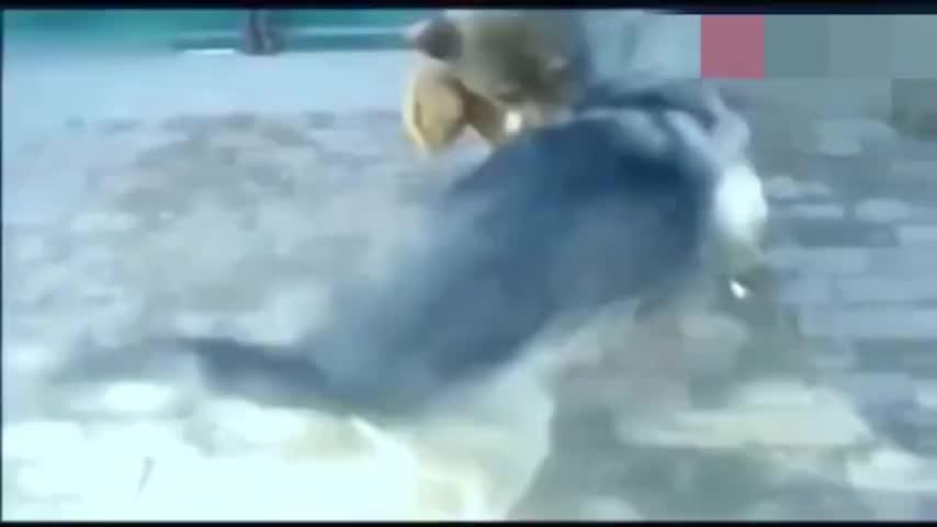 中华狼青大战比特犬,这一战,战出了中华犬的威武,好样的狼青!