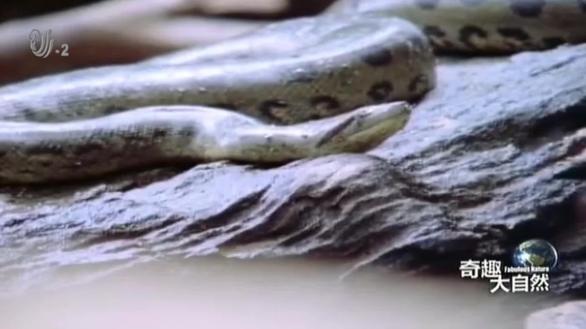 水蟒捕食鳄鱼,将鳄鱼死死缠住,直接吞下去,鳄鱼毫无挣扎的机会