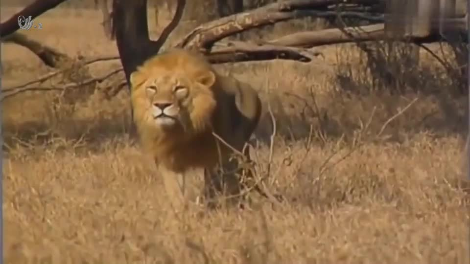 动物世界的残暴瞬间,两只雄狮攻击猎豹,真是跑得快也没用啊!