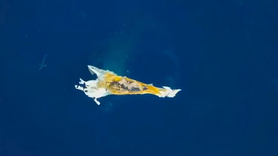 """鲸鱼:抹香鲸死亡后引来了海里嗜血的捕食者""""大白鲨"""""""