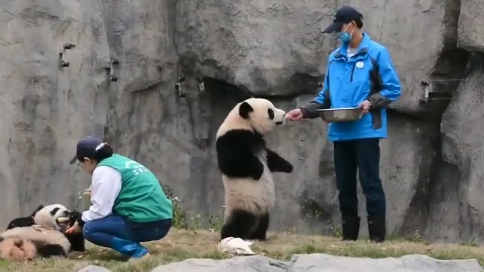 熊猫双手叉腰问奶爸要吃的,下一秒笑疯了