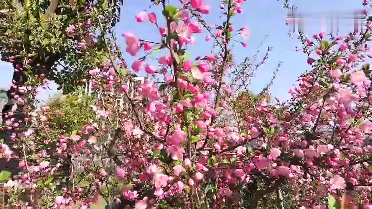 无锡金匮里小游园的垂丝海棠惊艳了整个太湖新城