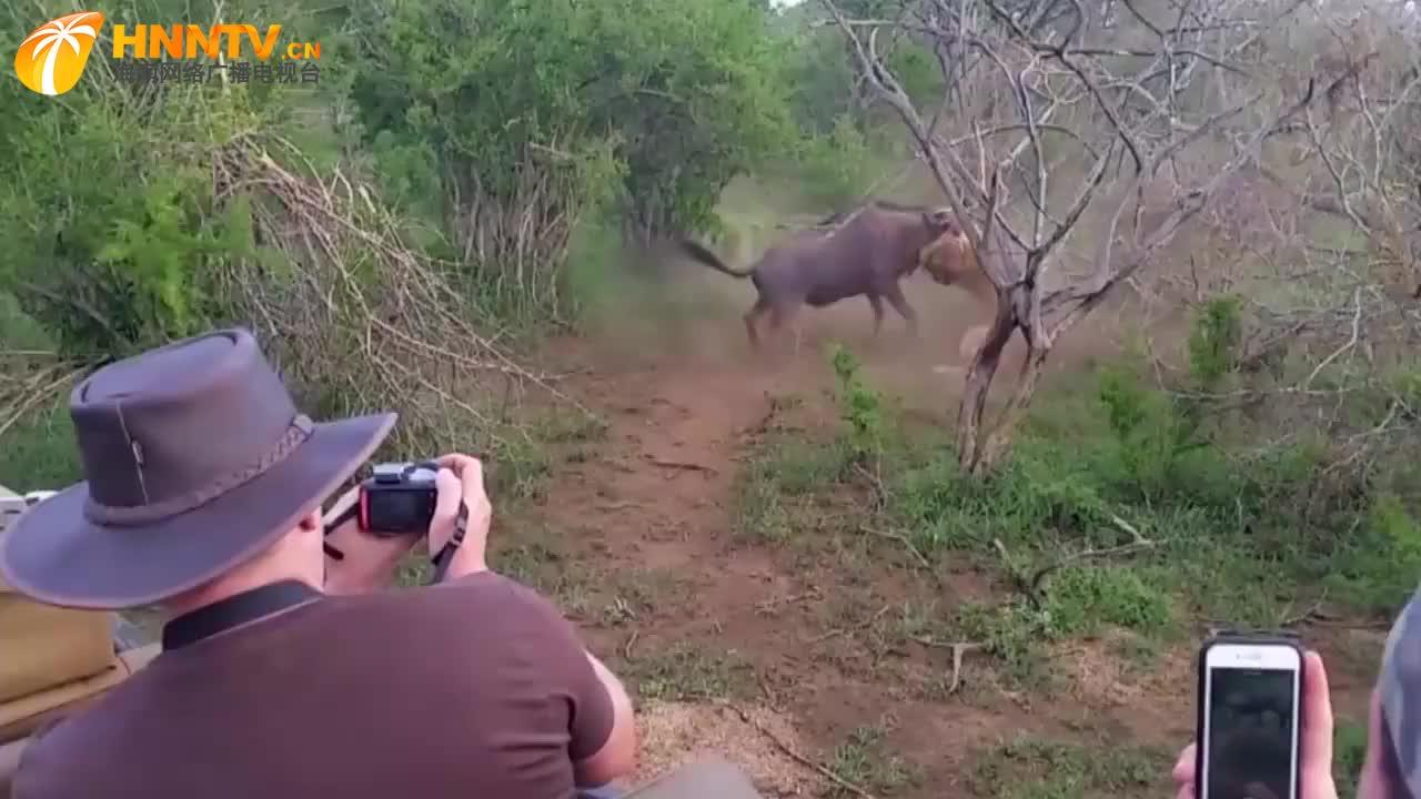 角马被狮子咬住喉咙,忍痛站起来后,绝地反击干狮子!