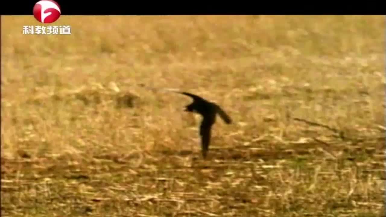 游隼捕食其他鸟类,用爪子将猎物拍下,然后用喙将猎物脊髓咬断