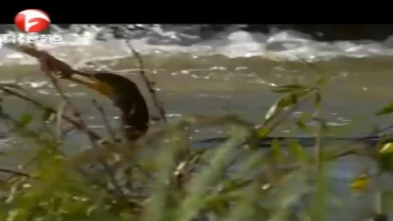 鸬鹚捕鱼的技术可真是高超啊,潜入水下,不到一分钟就满载而归