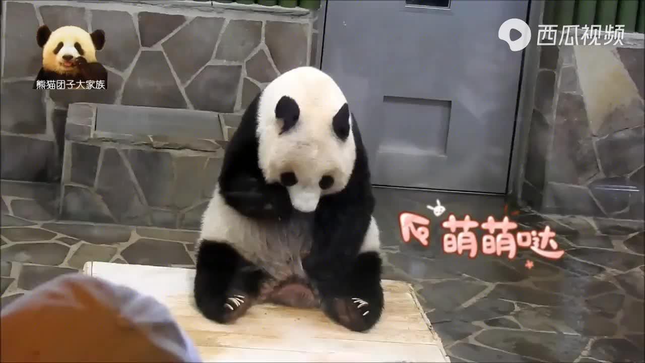 熊猫旦旦害羞低头,在体重秤上乖乖坐好,配合围观游客拍照,好萌