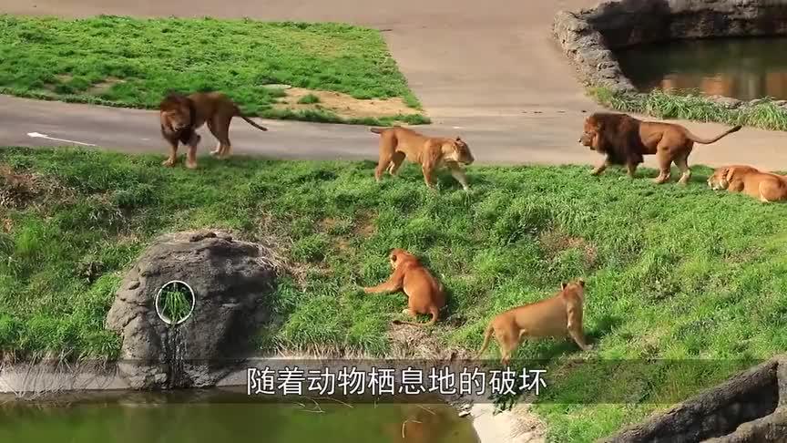 动物:黑猩猩被围殴,同伴抄起棍子就冲了上去,一手棍法出神入化