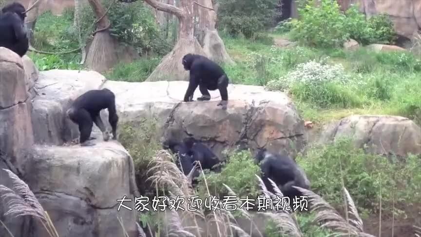 动物:黑猩猩被围攻,同伴抄起家伙就上前,棍法简直出神入化!
