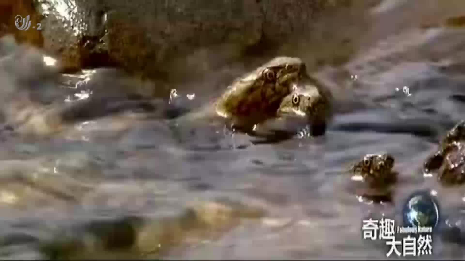 淡水龟宝宝,还没出生竟都被埋在土里,出生会一个一个钻出来
