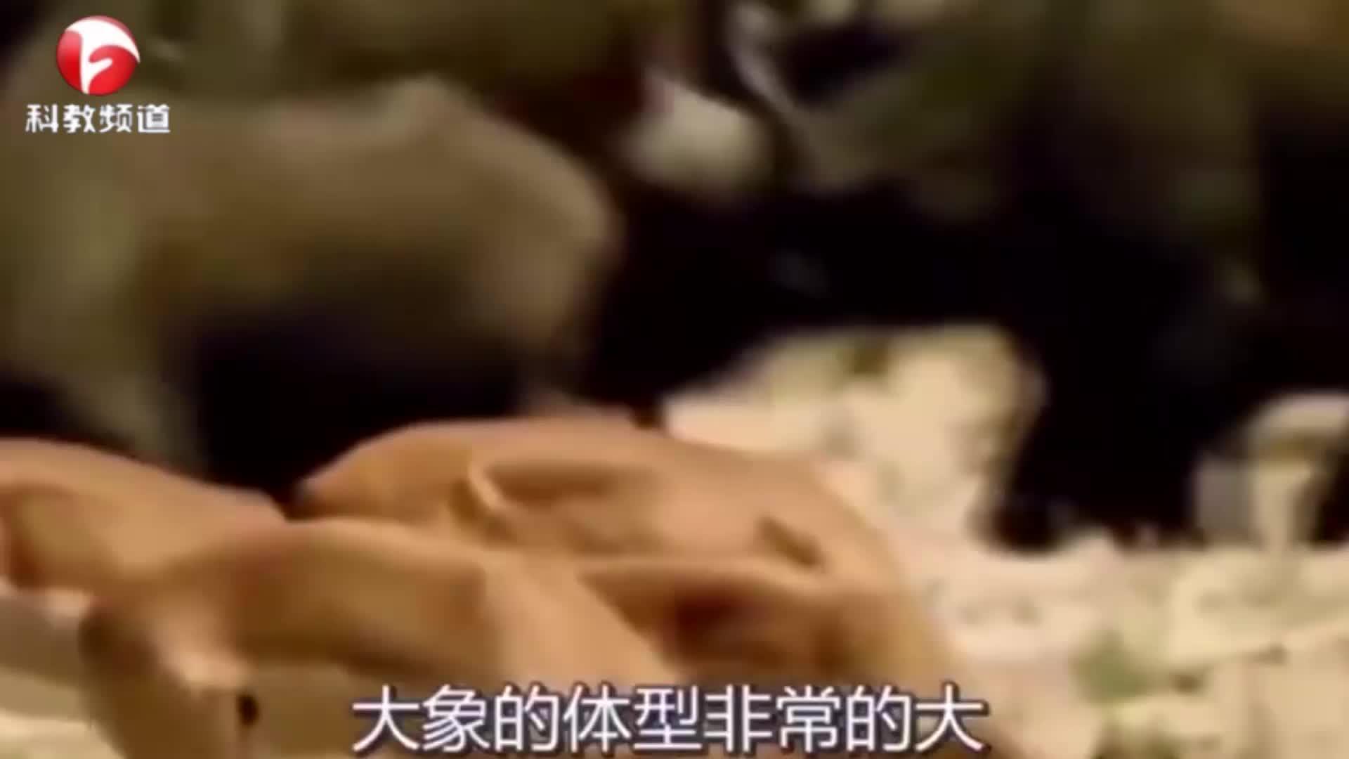 鳄鱼吞食小象,大象怒火冲天,赶忙跑去找鳄鱼报仇!