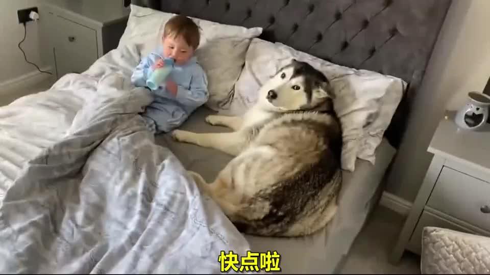 哈士奇不愿离开小主人的床,最后竟一起窝在被子里睡着了