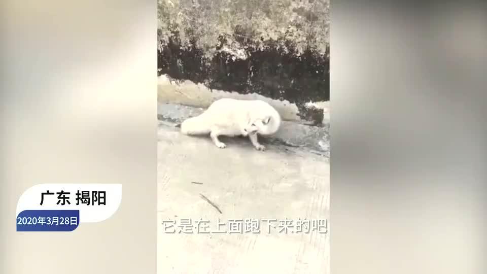 广东普宁惊现野生白狐,村民:它的肚子又圆又大,可能怀孕了