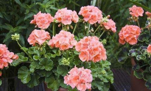 2种花卉,好养好看,花朵五颜六色,一年花期200天,值得养