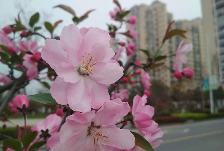 春去春又回!凤凰池路两边的垂丝海棠相继盛开了!新的气象开始了