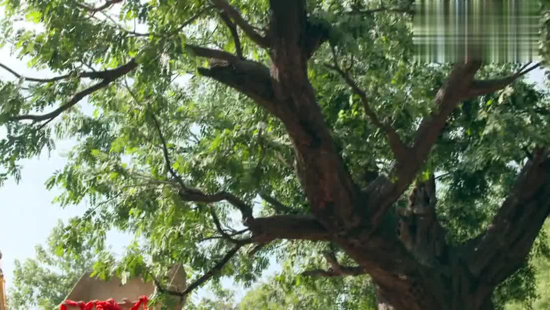 村里修路剪彩村民在大槐树下照相真是其乐融融啊