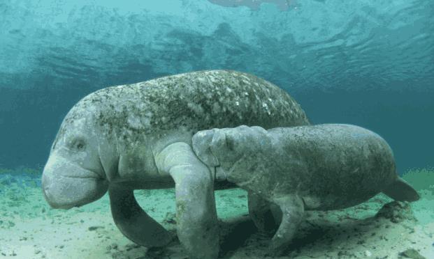 它是海洋里第二大哺乳动物,性格乖巧,最后依然逃不过人类的嘴